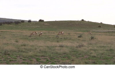 Pronghorn Herd Grazing
