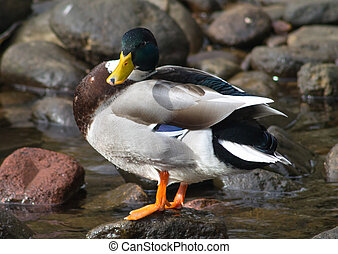 Mallard Drake, S Hebden Bridge, UK