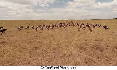 Wildebeest as seen from a quadrocopter, in Kenya, Africa.