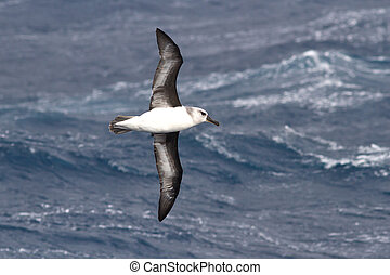Gray-headed albatross flying over the waters of the fall of...