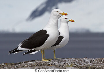 male and female Dominican gull standing on a rock near the nesti