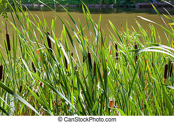 Reeds on the pond on a sunny day