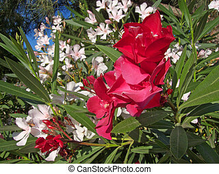 Red and White Oleander Flowers - image showing some red and...