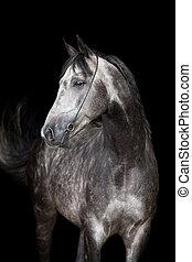 Gray horse head on black background - Gray Arabian horse...