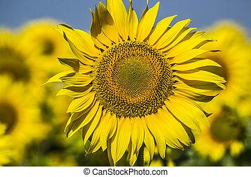 Sunflowers Sun - Sun yellow