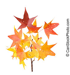 Fall leaves of sweet gum isolated on white - Red, yellow and...