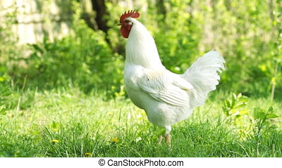 Beautiful white rooster in the green grass