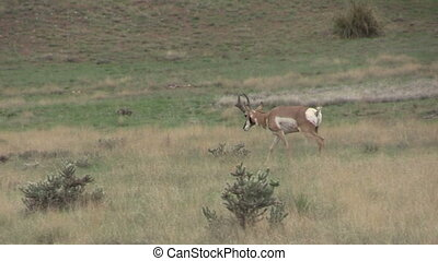 Pronghorn Buck - a pronghorn antelope buck during the rut on...