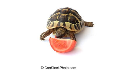Tortoise eating tomatoes  - Small Tortoise eating tomatoes
