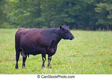 Black Angus - Female Black Angus Cow standing in a field