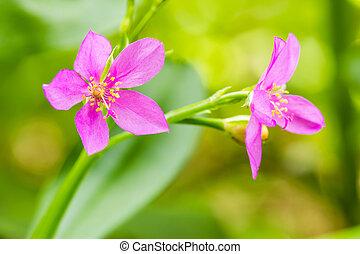 Fame - Flower,Ceylon Spinach,Sweetheart, Surinam Purslane...