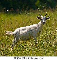 Goat - a symbol of 2015 on the Chin