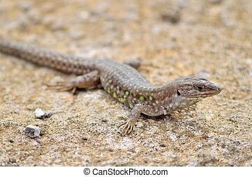 Atlantic lizard. Lanzarote, Canary Islands. - One small...