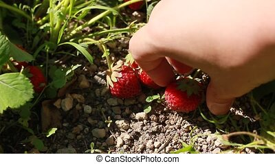 gathering strawberry crop