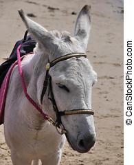 Donkey on beach - Closeup of grey coloured donkey waiting to...