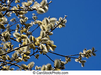 Catkins on blue