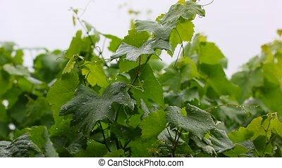 grapes in the rain