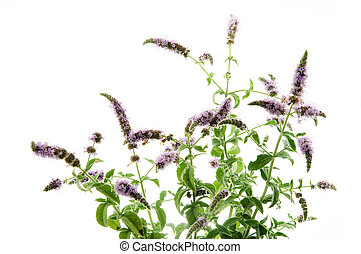 Mentha Arvensis - Wild mint isolated in white background....