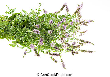 Mentha Arvensis - Wild mint isolated in white background...