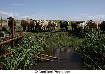 Cattle at water hole. - A mixed herd of cattle stand in a...