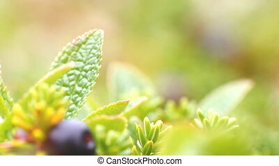 macro stone vegetation polar leaf summer - Arctic prairie...