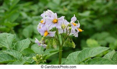 blooming potato bush - flowers of growing potato