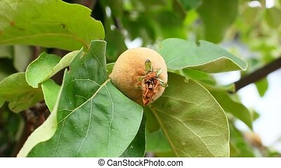 growing  apple quince tree