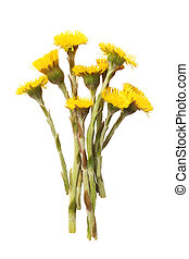 Coltsfoot Tussilago farfara isolated on white background