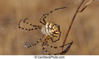spider argiope - argiope spider web with water droplets of...