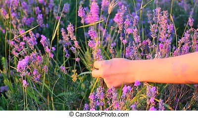 hands gathering lavender plants in