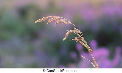 beautiful grass on a purple backgro
