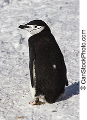 Antarctic penguin or Chinstrap which goes through the snow