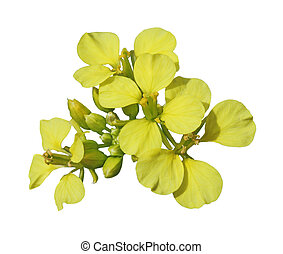 Rapeseed Flower - Closeup of fresh rapeseed flower isolated...