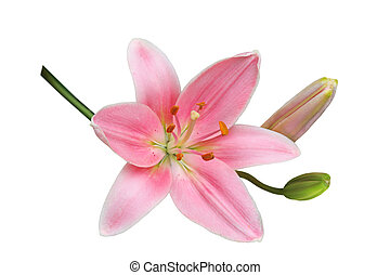 Pink Lily - Single fresh pink lily flower isolated on white...