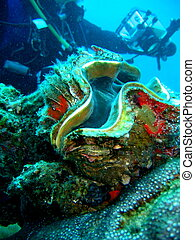 Sea life - Giant clam - Underwater photo, giant clam in the...