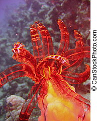 Sea life - crinoid - Underwater photo, a view of the crinoid...