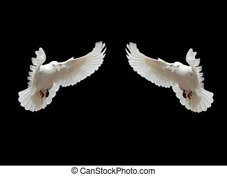 Isolated two doves - Two isolated flying pigeons with black...