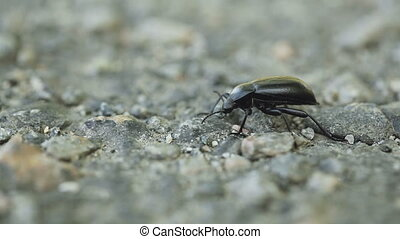 Aggro beetle - Standing in front aggressive black beetle