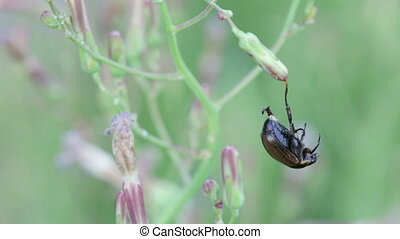 Dead colorado potato beetle - On one foot with flower beetle...
