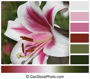 Lily Flower. Palette With Complimentary Colour Swatches.