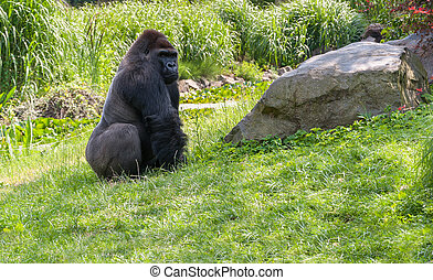 Gorilla on grass
