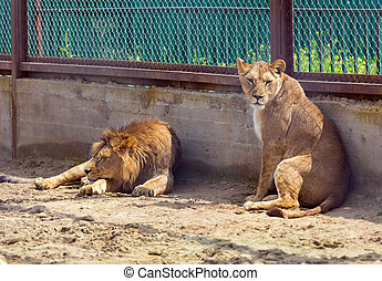 lion and lioness in a cage at zoo