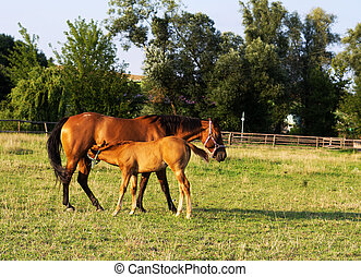 Two horses - two horses - mother and foal on the meadow