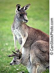 Eastern grey kangaroo with joey - Female grey kangaroo with...