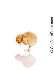 Little chick looking at reflection