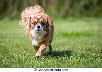 Small brown dog - A small brown dog running straight at the...