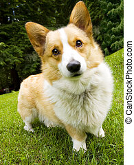 Welsh Corgi - A pembroke welsh corgi standing in the grass.