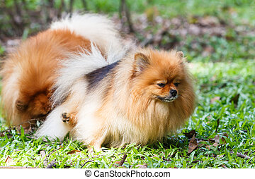 Pomeranian dog peeing on green grass in the garden
