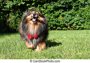 Brown Sheltie - Brown Shetland Sheepdog Sheltie with red...