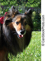 Brown Sheltie portrait
